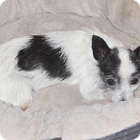 Adopt A Pet :: Claire - tampa, FL