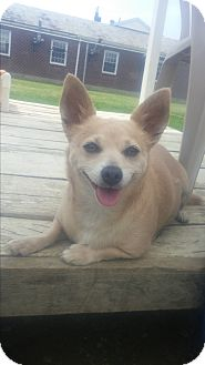 Chihuahua/Dachshund Mix Dog for adoption in New Windsor, New York - MUFFIN