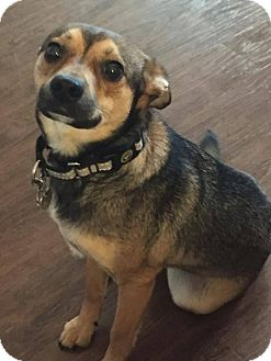 Chihuahua Mix Dog for adoption in Fargo, North Dakota - Baxter