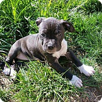 Adopt A Pet :: star - Livermore, CA