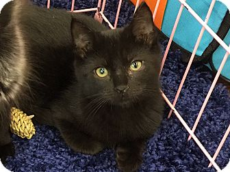 Bombay Cat for adoption in Sarasota, Florida - Shade