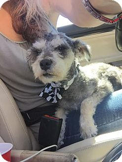 Schnauzer (Miniature)/Wirehaired Fox Terrier Mix Dog for adoption in Manchester, New Hampshire - Harrison - pending
