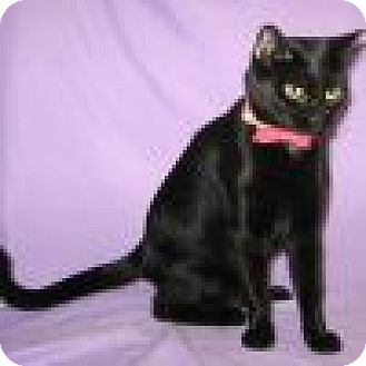 Domestic Shorthair Cat for adoption in Powell, Ohio - Rakel