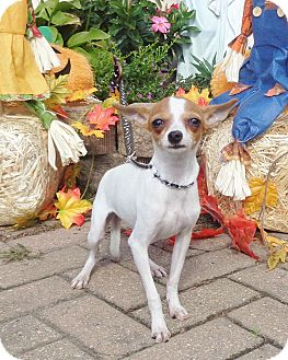 Rat Terrier/Chihuahua Mix Puppy for adoption in West Chicago, Illinois - Leala