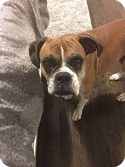 Boxer Dog for adoption in Williamsburg, Virginia - LEXI