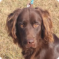 Adopt A Pet :: Duke - Spring Valley, NY