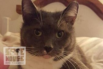 Domestic Shorthair Cat for adoption in Mendota, Illinois - Hailey Gray