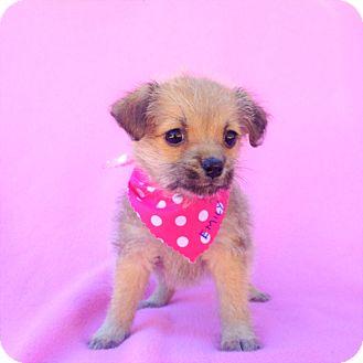 Maltese Mix Puppy for adoption in Burbank, California - Emily