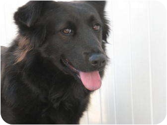 chow chow border collie mix - photo #12