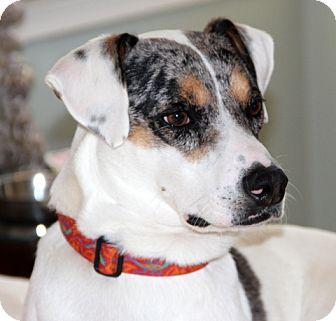 Labrador Retriever/Australian Shepherd Mix Dog for adoption in Charlemont, Massachusetts - Reuben