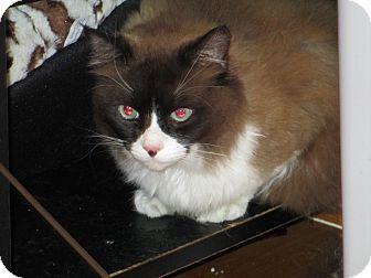 Ragdoll Cat for adoption in Atlanta, Georgia - Mr. Mousse