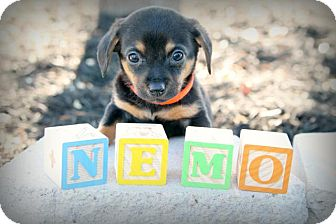 Dachshund Mix Puppy for adoption in Austin, Texas - Nemo