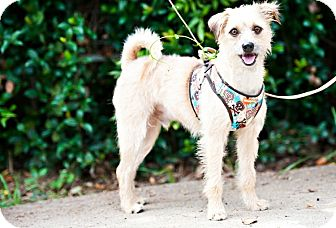 Border Terrier Mix Dog for adoption in Houston, Texas - Scruffy