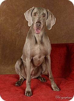 Weimaraner Dog for adoption in Las Vegas, Nevada - Gracie
