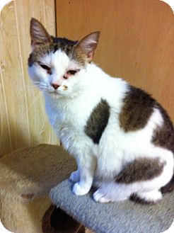 Calico Cat for adoption in Rock Hill, South Carolina - Jenni