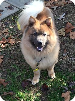 Sophie | Adopted Dog | Tucker, GA | Keeshond/Chow Chow Mix