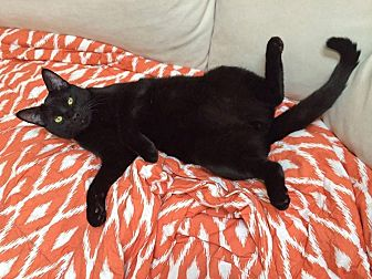 Domestic Shorthair Cat for adoption in Pacific Palisades, California - Logan
