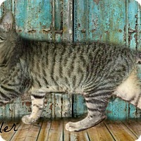 Domestic Shorthair Cat for adoption in McEwen, Tennessee - Fowler