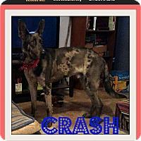 Adopt A Pet :: Crash - bullard, TX