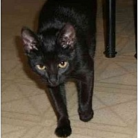 Domestic Shorthair Cat for adoption in Iroquois, Illinois - Aries