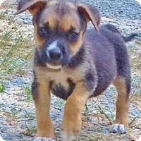 Adopt A Pet :: Roland, best baby beagle mix - Snohomish, WA