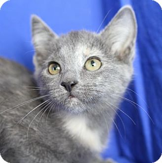 Domestic Shorthair Kitten for adoption in Winston-Salem, North Carolina - Drake