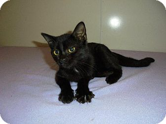Domestic Shorthair Cat for adoption in Springfield, Tennessee - Fantasia