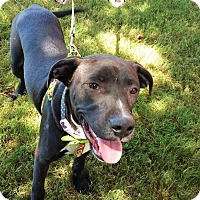 Labrador Retriever Mix Dog for adoption in Wichita Falls, Texas - Collin