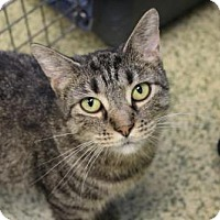 Domestic Shorthair Cat for adoption in Indianapolis, Indiana - Muffin
