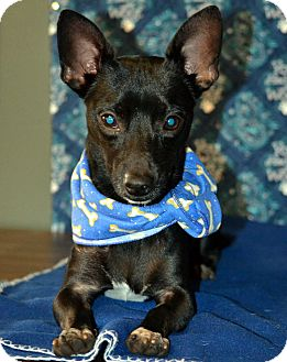 Chihuahua/Dachshund Mix Dog for adoption in Okeechobee, Florida - Shadow