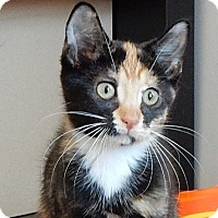 Domestic Shorthair Kitten for adoption in Long Beach, New York - Clara