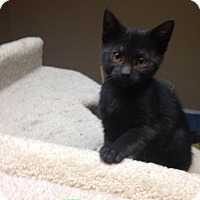 Adopt A Pet :: Hansel - Bridgeton, MO