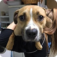 Adopt A Pet :: Lindor - Cleveland, OH