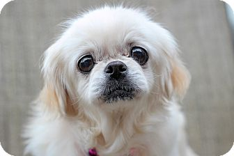 Pekingese Mix Dog for adoption in College Station, Texas - Mint (7.26 pounds)