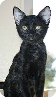 Domestic Shorthair Kitten for adoption in Richland Hills, Texas - Lucy