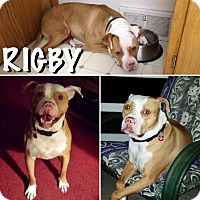 Pit Bull Terrier Dog for adoption in Berea, Ohio - Rigby