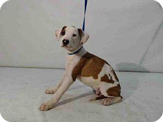 Boxer Mix Puppy for adoption in Orlando, Florida - A364729