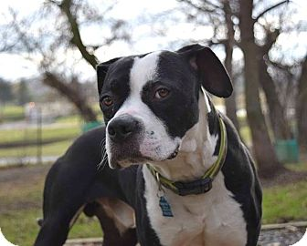 Boxer/Pit Bull Terrier Mix Dog for adoption in Pontiac, Michigan - Bruno
