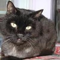 Adopt A Pet :: Apache - Manchester, CT