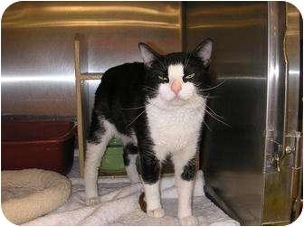 Domestic Shorthair Cat for adoption in Woodstock, Georgia - Vinnie