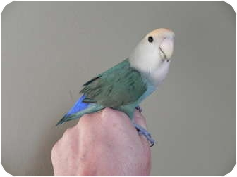 Lovebird for adoption in St. Louis, Missouri - Jasper