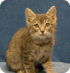 Domestic Shorthair Cat for adoption in Sacramento, California - Len