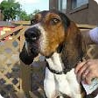 Treeing Walker Coonhound Dog for adoption in Overland Park, Kansas - Dudley