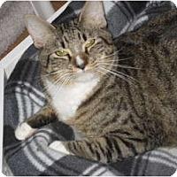 Adopt A Pet :: Puss in Boots - Huffman, TX