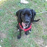 Adopt A Pet :: Beau - Conyers, GA