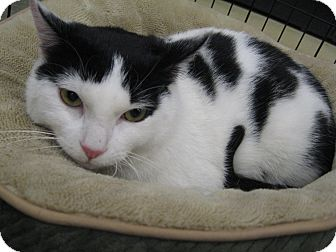 Domestic Shorthair Cat for adoption in New york, New York - Tarni