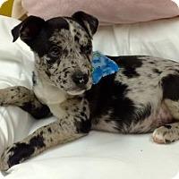 Adopt A Pet :: Blue - Fort Pierce, FL