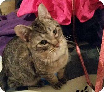 Domestic Shorthair Cat for adoption in Bourbonnais, Illinois - Milo