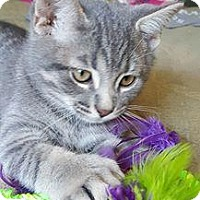 Adopt A Pet :: Pauly - Super playful! - Huntsville, ON