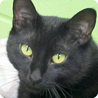 Domestic Shorthair Cat for adoption in Jefferson, Wisconsin - Natalie - Adoption Fee Paid!